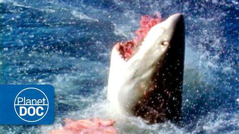 ataque mortal de un gran tiburon blanco australia el gran tibur 243 n blanco ataque mortal youtube