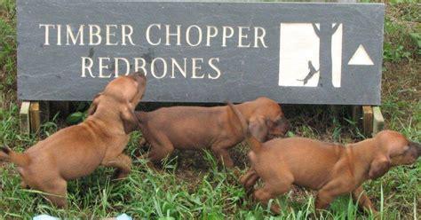 redbone hound puppies with timber chopper redbone coonhounds