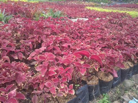 jual pohon miana merah tanaman herbal daun miana