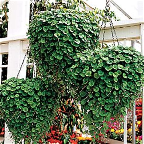 foliage plants for hanging baskets buy dichondra emerald falls from park seed