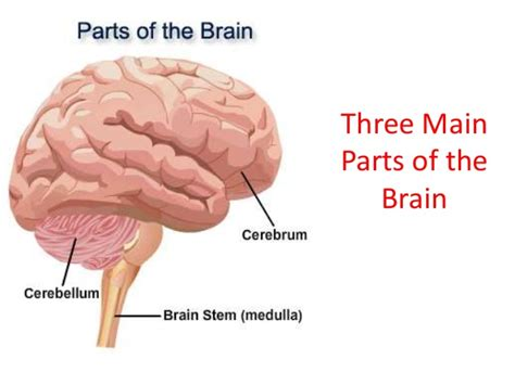 what are the three sections of the brain this diagram shows the three main parts of the brain