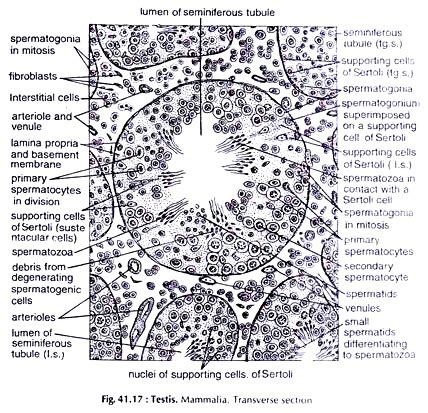 transverse section of mammalian testis structure of different organs of mammalia zoology