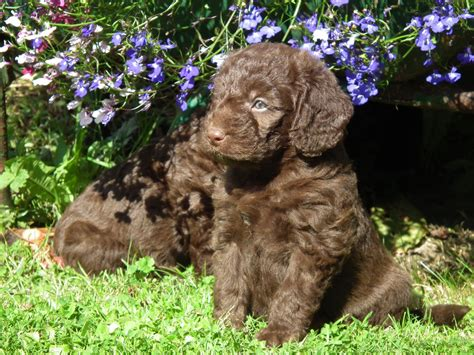 chocolate mini labradoodle puppies for sale gorgeous miniature chocolate labradoodle puppies radstock somerset pets4homes