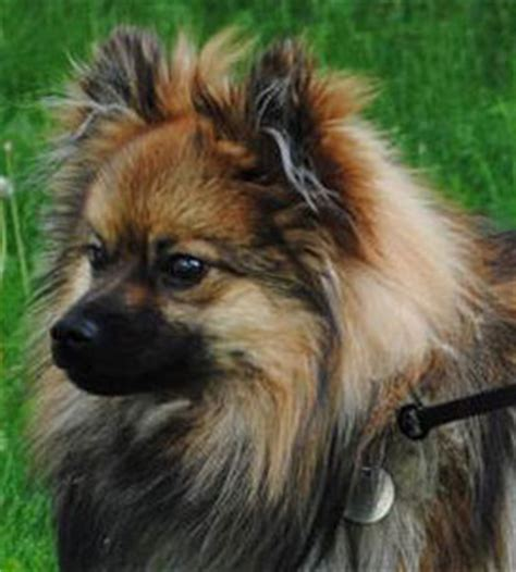 different types of pomeranian dogs pomeranian types breeds picture
