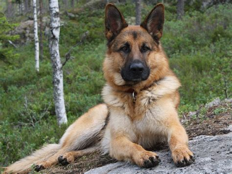 king german shepherd king shepherd animals dogs german shepherds nature puppies rocks tree wolves