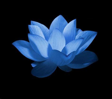 wallpaper blue lotus blue lotus wallpaper www imgkid com the image kid has it