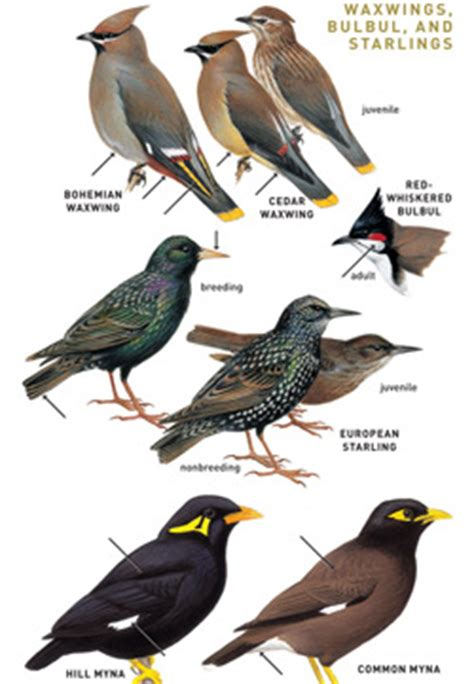 peterson field guide to birds of eastern and central north