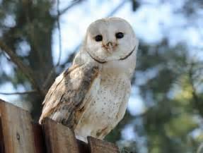 barn owl barn owl of bird
