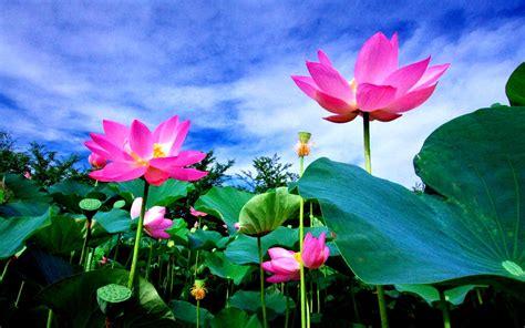 lotus flower in lotus flower meaning and symbolism mythologian net
