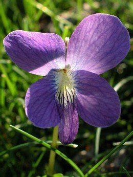 state flower of illinois native violet illinois state flower picture to pin on