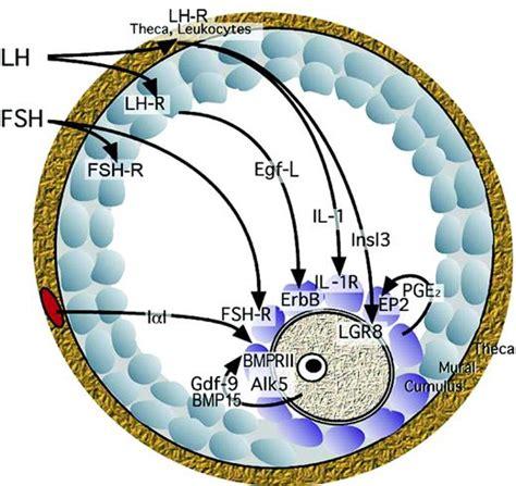 intraovarian signalling cascade  mediates ovulation