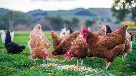 welk keukenafval voor kippen voederbak of vuilbak wat mogen kippen wel en niet eten