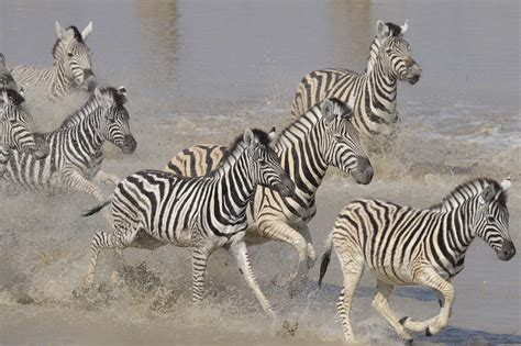 zebra migration pattern the best of victoria falls botswana 9 days southern