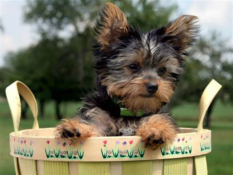 when is a yorkie considered grown everything you need to about the yorkie terrier page 4 of 5 urdogs