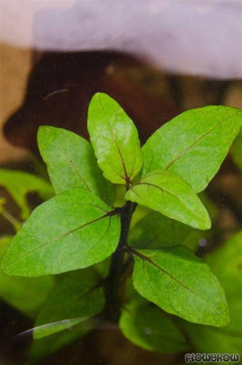 Acmella repens - Flowgrow Aquatic Plant Database Ludwigia Repens
