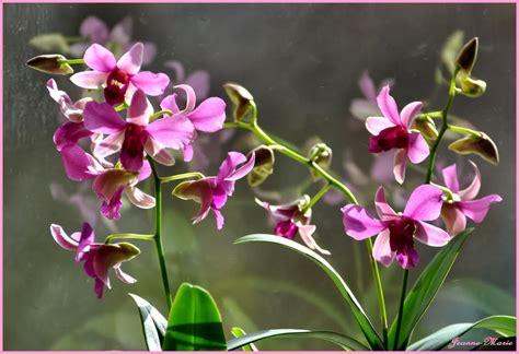 Tanaman Hias Anggrek Cattleya Cl sejarah bunga anggrek ragam tanaman