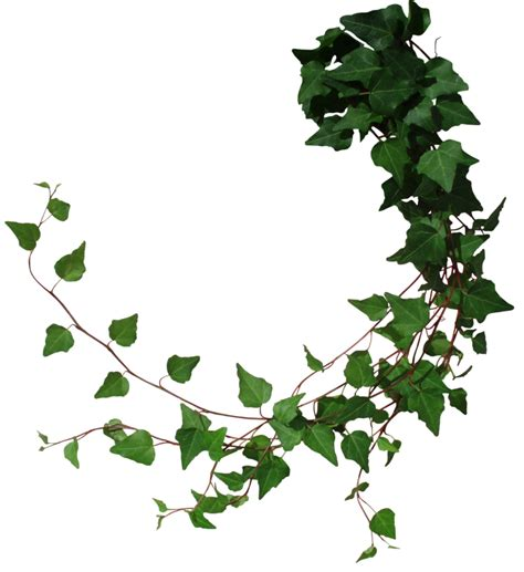 vines branch in plants png 43653 free icons and png