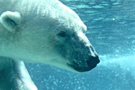 Philadelphia by Underwater Polar Bear This Is One Of Two Polar Bears At