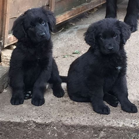 newfoundland puppies chunky newfoundland puppies bristol bristol pets4homes