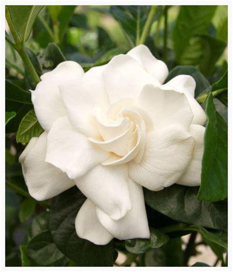 Gardenia Aimee Gardenia Aimee Louisiana Nursery