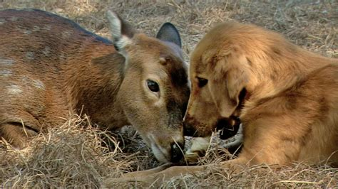 deer with dogs nature season 31 animal couples press release pressroom thirteen