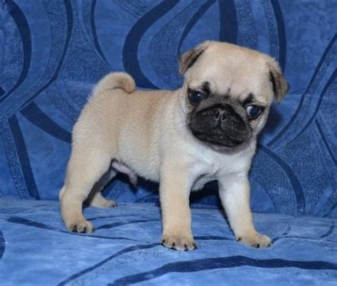 adoptable pugs pug puppies for free adoption breeds picture