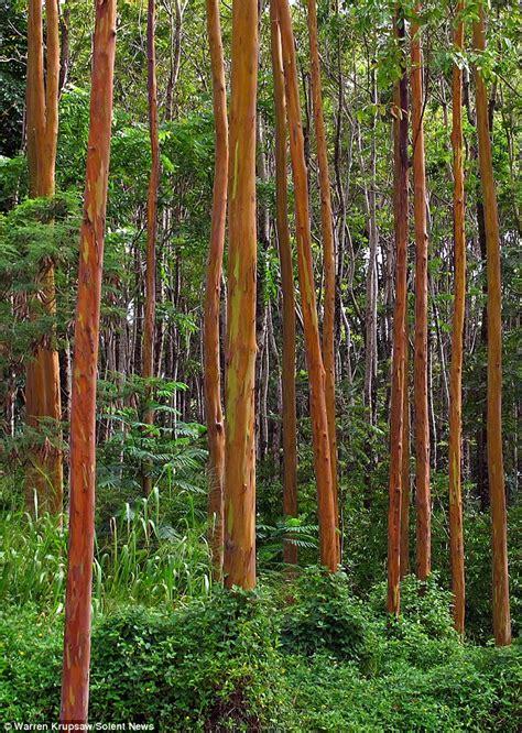 rainbow trees rainbow eucalyptus tree csglobe
