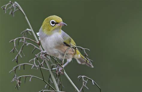 best 28 bird with yellow ring around eye file rhastos