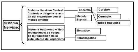 cadenas voluntarias definicion 191 cual es la clasificaci 211 n del sistema nervioso sistema