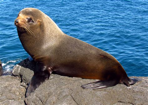 Sea Ls by File Galapagos Fur Seal Santiago Island Jpg Wikimedia