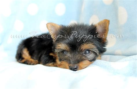best toys for yorkies 17 best images about yorkie on polos toys and yorkie