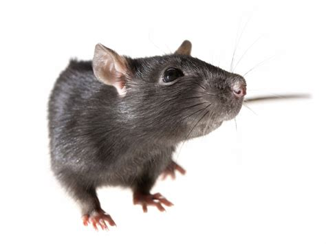 rats and mice humane ways to get rid of them