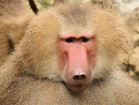 interesting  fun facts  baboons tons  facts