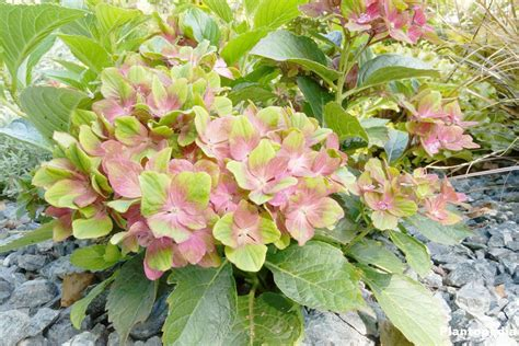 hortensie schneiden wann hortensien zur 252 ckschneiden hortensien zur ckschneiden