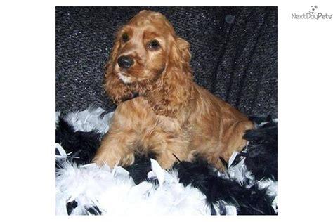 cocker spaniel puppies price meet harley akc a cocker spaniel puppy for sale for 300 akc handsome
