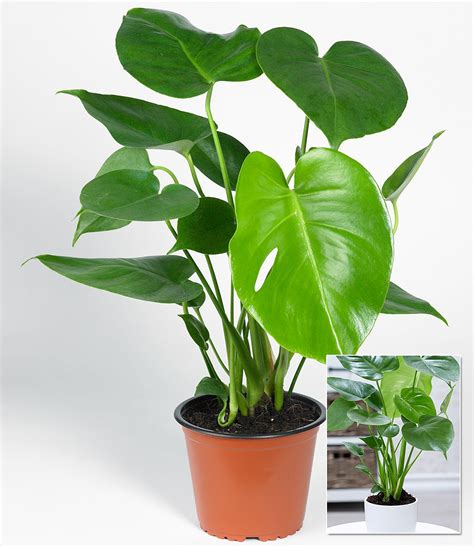 pflanzen kaufen monstera 1 pflanze g 252 nstig kaufen mein sch 246 ner