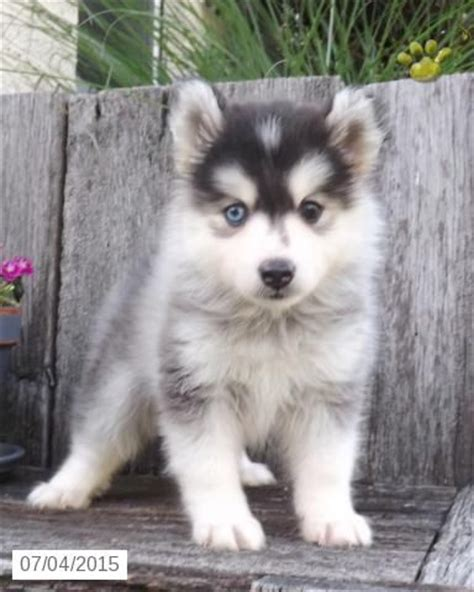 pomsky puppies for sale in for sale pomsky puppies and puppys on