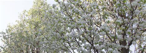 pero da fiore pyrus chanticleer pero da fiore quando l albero 232 una
