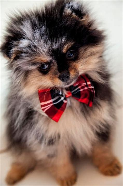 what do pomeranians look like 434 best images about pomeranians on cutest dogs and pom poms