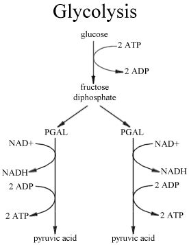 diagram of glycolysis bioap ch 9 collaboration 2010