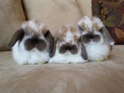 download format lop kecil baby holland lop download foto gambar wallpaper film