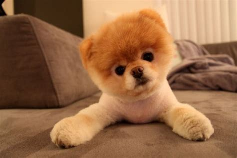 pomeranian bo meet boo the cutest pomeranian damn cool pictures