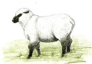 sheep drawing by gill kaye