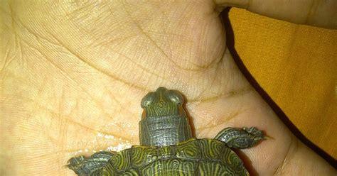 Salep Genoint ier tips menyembuhkan kura kura res brazil yang