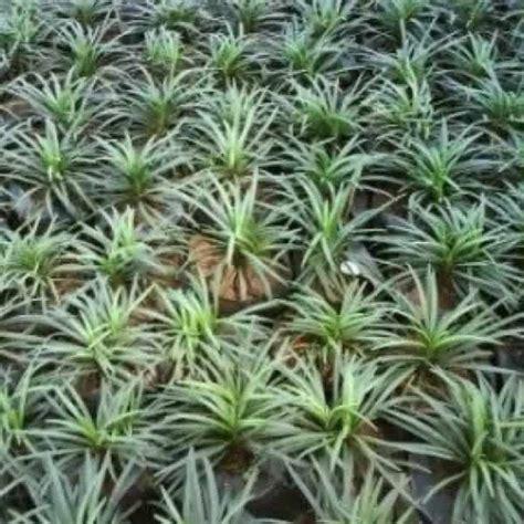 jual bibit unggul tanaman rumput kucai mini mondo