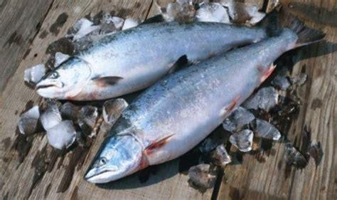 Minyak Ikan Salmon Untuk Kucing by Budidaya Ikan Salmon Di Norwegia