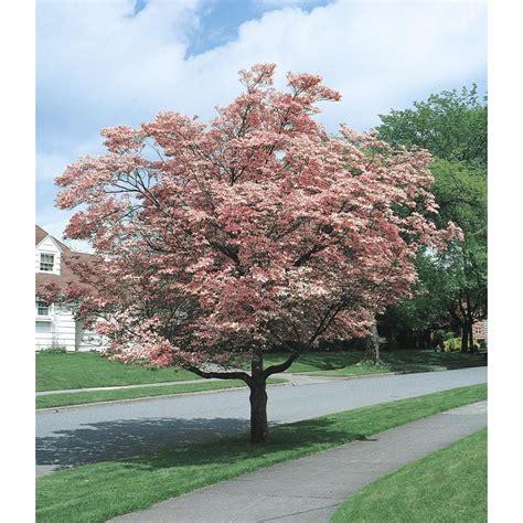lowes trees shop 3 25 gallon pink flowering dogwood flowering tree