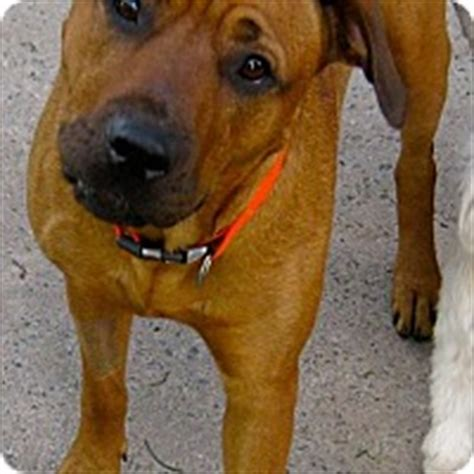 rhodesian ridgeback rottweiler mix pictures high view wv rhodesian ridgeback rottweiler mix meet a for adoption