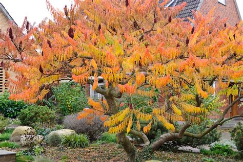 Flowers Bloom by Rhus Typhina Dissecta Cut Leaf Staghorn Sumac