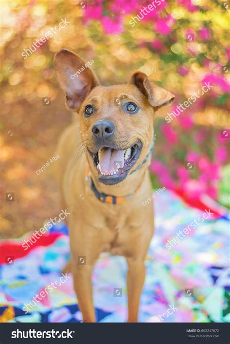 cortana show me pictures of floppy eared dogs cute mixed breed dog floppy ear stock photo 602247872